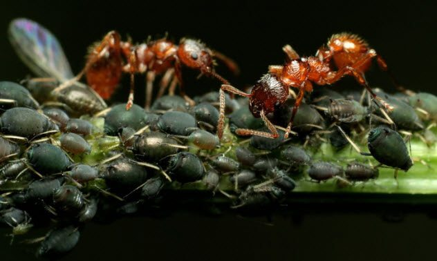 5a-ants-and-aphids-108313664