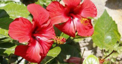 karkade-gibiskusa-cvetki-instrukcija-po-primeneniju-pokazanija-protivopokazanija-pobochnoe-dejstvie-opisanie-hibisci-flores-syre-rastitelnoe-cvetki-poroshok-1-2