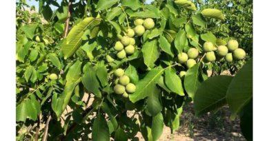 plodovoe-derevo-greckij-oreh-opisanie-sortov-uhod-i-uslovija-vyrashhivanija-obrezka-i-formirovanie-krony-2