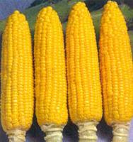 po-pitatelnosti-kukuruza-prevoshodit-pochti-vse-ovoshhi-2