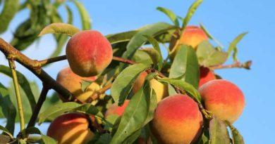 polza-persikov-dlja-zhenshhiny-svojstva-beremennosti-pohudenii-2